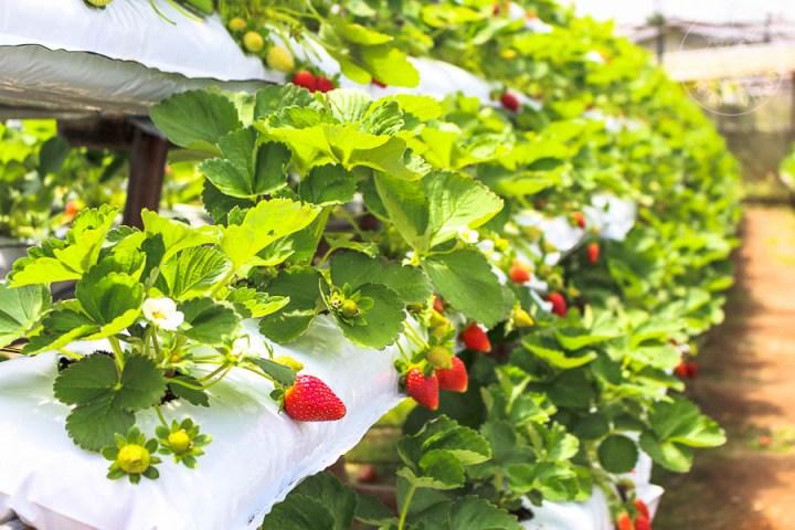 Plantación de fresas, Cameron Highlands, Malasia