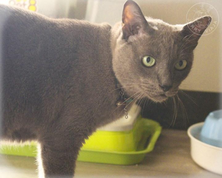gato korat, tailandia