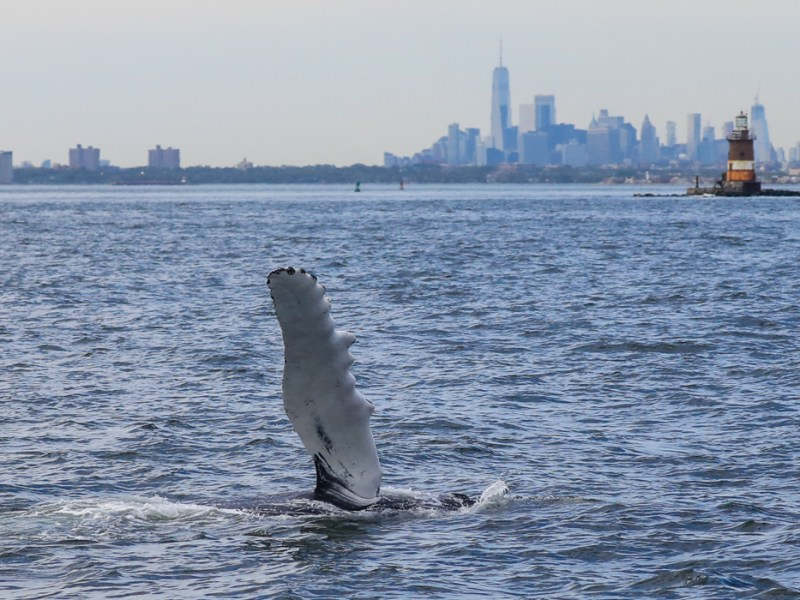 These flippers are the longest of any whale, reaching up to 15 feet.