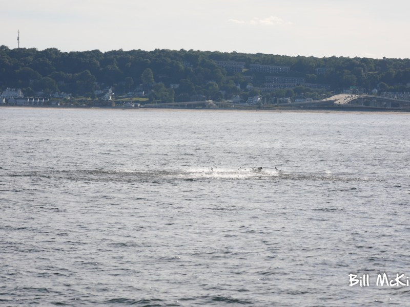 The Atlantic menhaden (Brevoortia tyrannus) is a North American species of fish in the herring ... Humpback whales off the coast of New Jersey feed on Atlantic menhaden