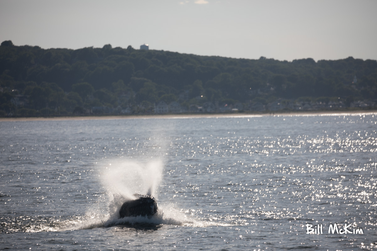 whale breaching off the coast of Monmouth county new jersey June 25th 2018