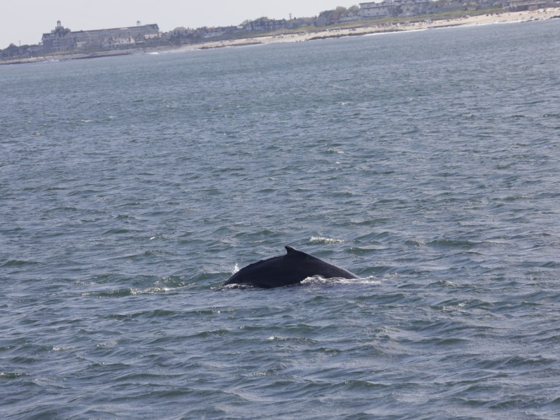 , Wednesday whale watching report June 24th 2020 fun trip amazing weather, Jersey Shore Whale Watch Tour 2020 Season