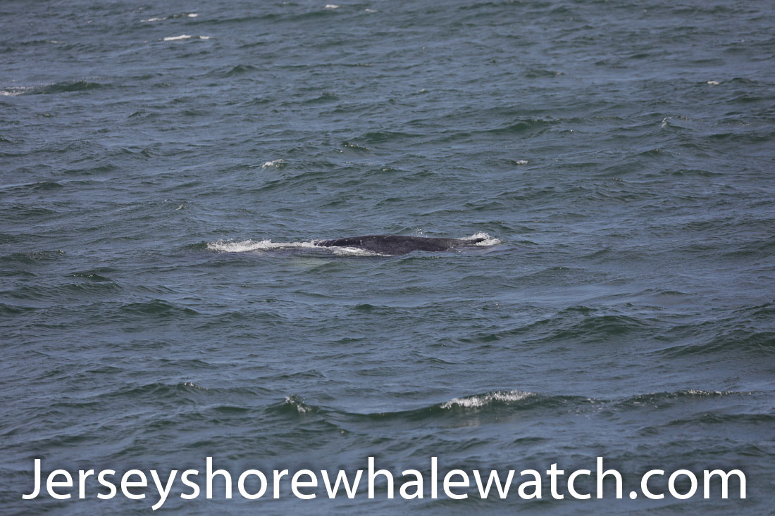 , July 8th whale watching trip report, Jersey Shore Whale Watch Tour 2020 Season