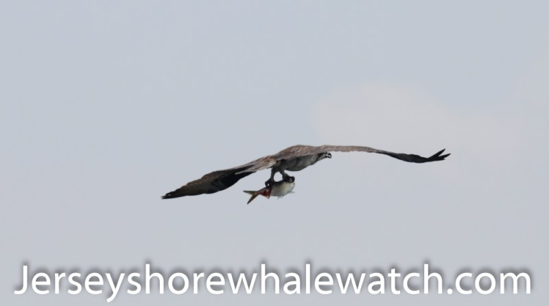 Osprey with its catch. Atlantic Menhaden. We saw this was we were returning to Belmar Marina