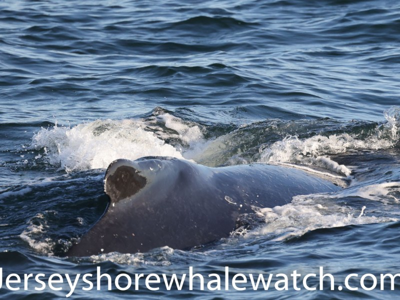 , Tail Slapping good time today, Jersey Shore Whale Watch Tour 2020 Season
