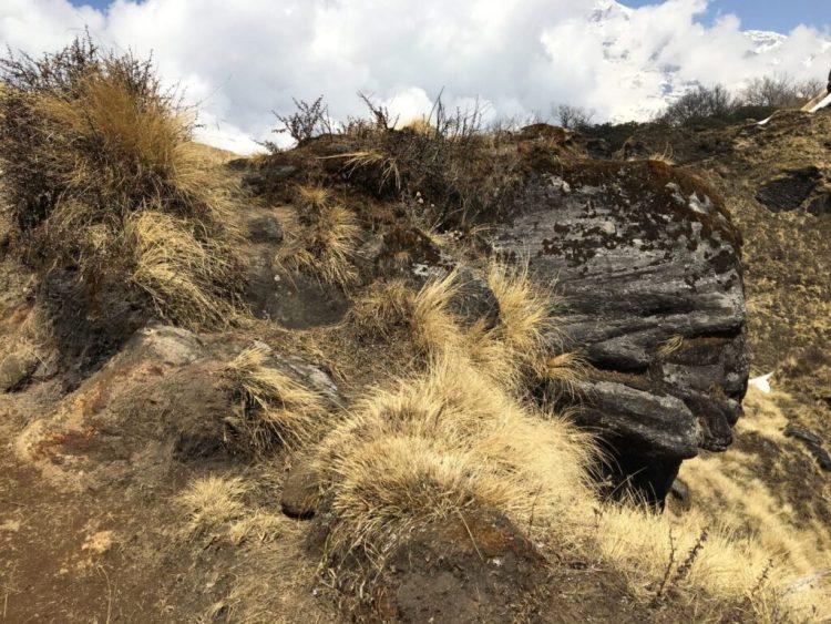 Gultgræs Annapurna