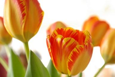 Tulips by Jessamyn Tuttle