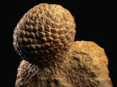 layne-kennedy-fossilized-pine-cone