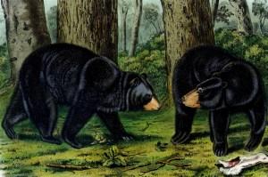 American Black Bear Audubon blog