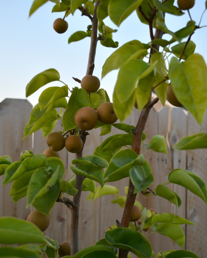 Asian Pear Tree