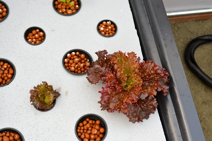 Red Leaf Lettuce in an aquaponic garden