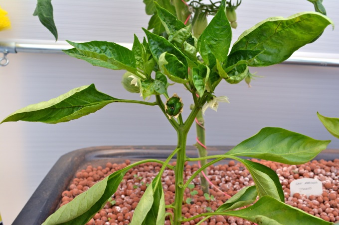 Growing bell peppers in an aquaponic garden