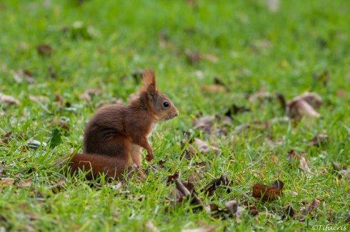 Ecureuil roux 2