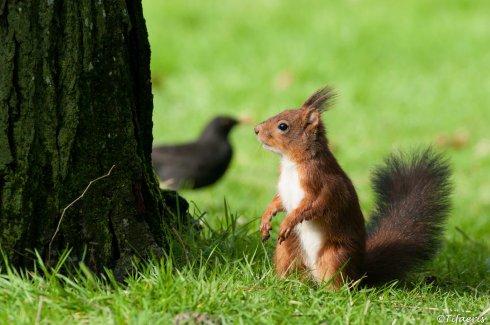 Ecureuil roux 3