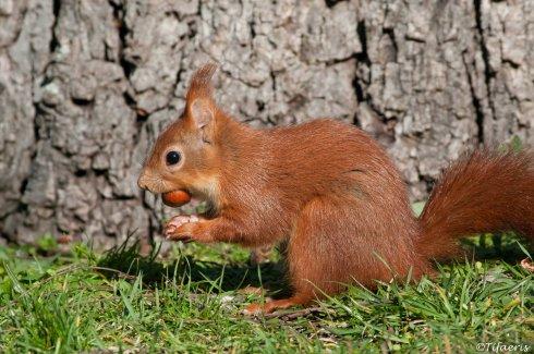 Ecureuil roux 7