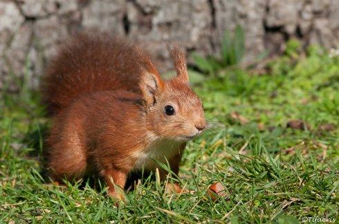 Ecureuil roux 8