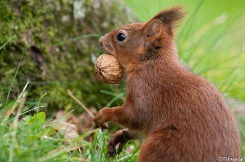 Ecureuil roux 9