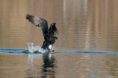 Grand cormoran 7