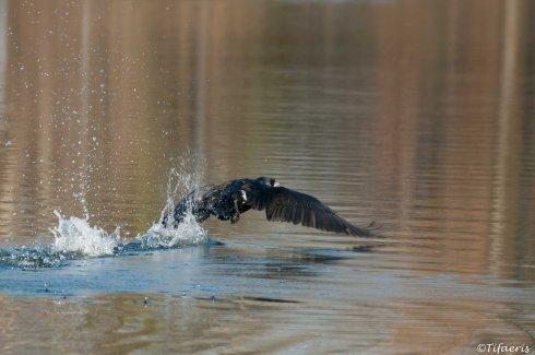 Grand cormoran 8
