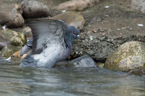 Pigeon biset 4