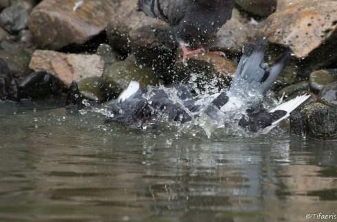 Pigeon biset 6