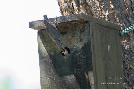 Sittelle torchepot-Réserve ornithologique du Teich 10.05.2015