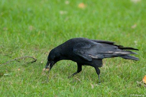 Corneille noire 3