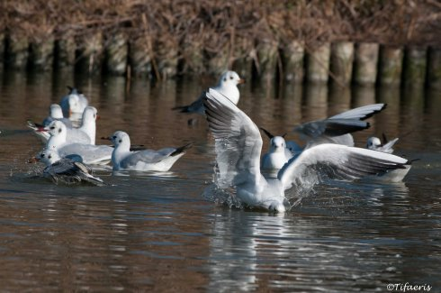 Mouette rieuse 10