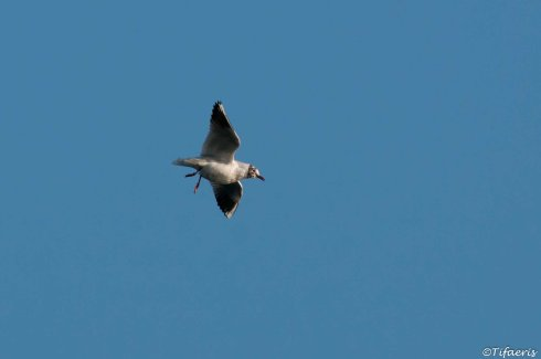 Mouette rieuse 11