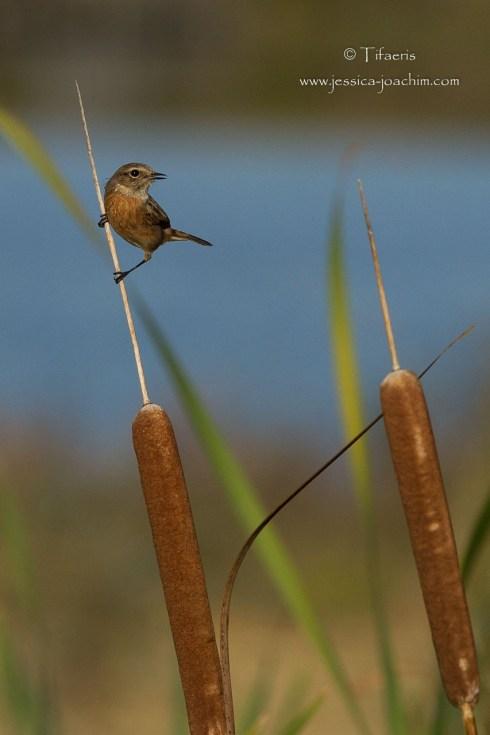 Târier pâtre-Domaine des oiseaux 24.10.2014