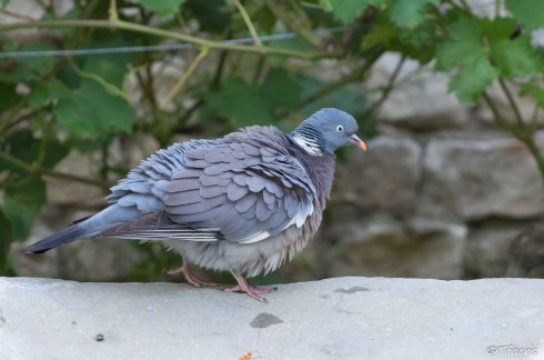 Pigeon ramier 4