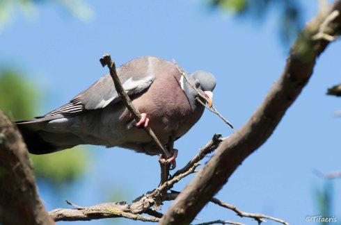 Pigeon ramier 7