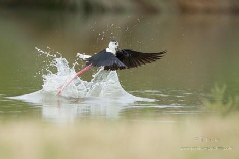 Echasse blanche-Domaine des oiseaux 14.06.2015