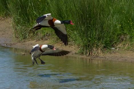 Tadorne de Belon-Réserve ornithologique du Teich 10.05.2015