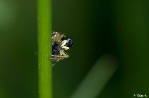 Heliophanus sp ♀