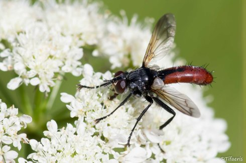 Cylindromyia bicolor 3