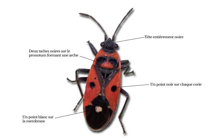 melanocoryphus-albomaculatus