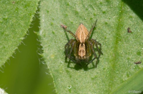 Oxyopes lineatus 2