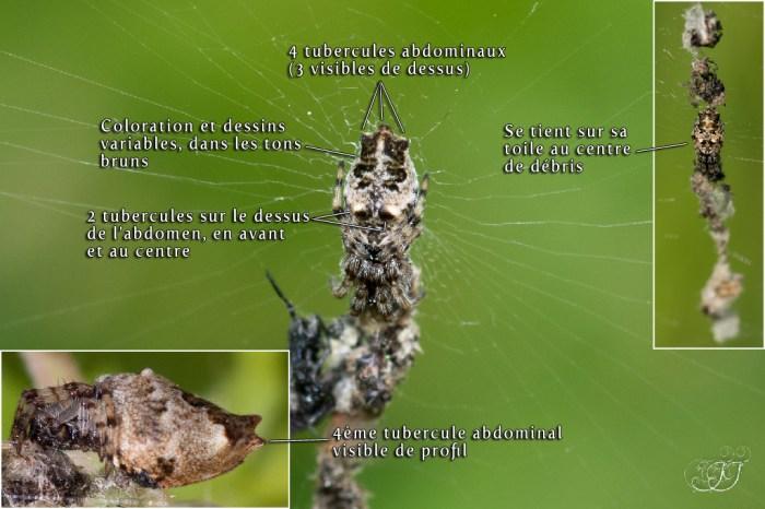 Cyclosa oculata