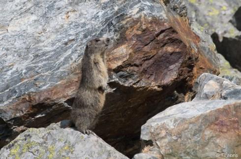 Marmotte des Alpes 17