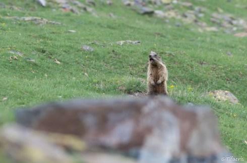 Marmotte des Alpes 19