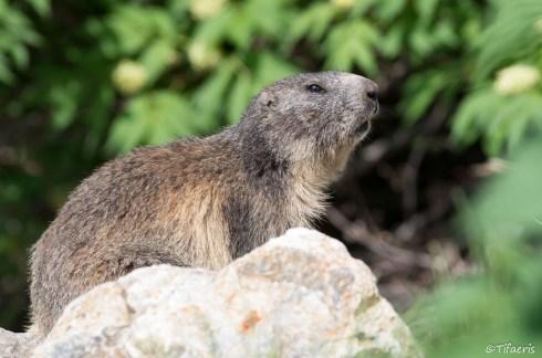 Marmotte des Alpes 20