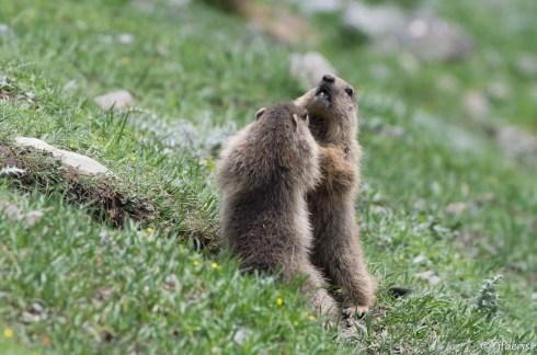 Marmotte des Alpes 8