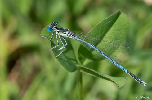 Pennipatte bleuâtre ♂ 2