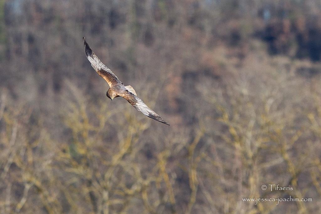 Busard des roseaux-Domaine des oiseaux 07.03.2015