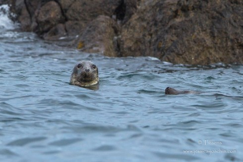 Phoque gris-Bretagne, Archipel de Molène, 15.08.2014