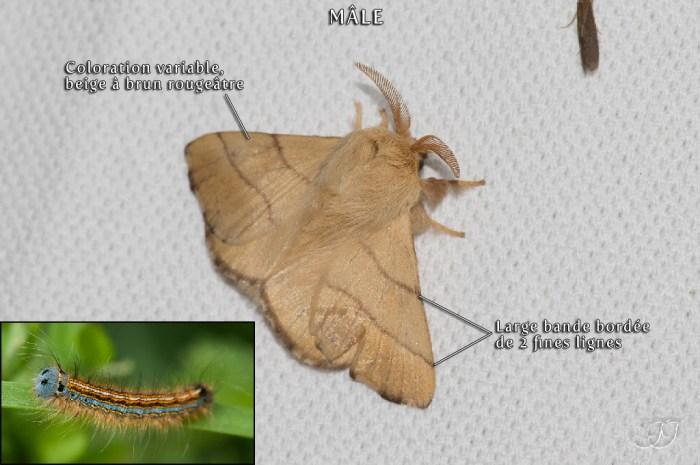 Malacosoma neustria
