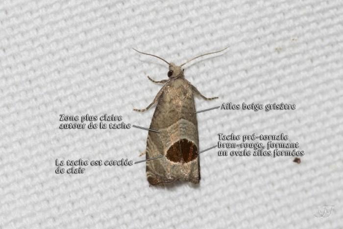 Notocelia uddmanniana