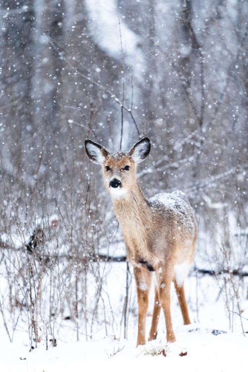 The Story Of The Deer