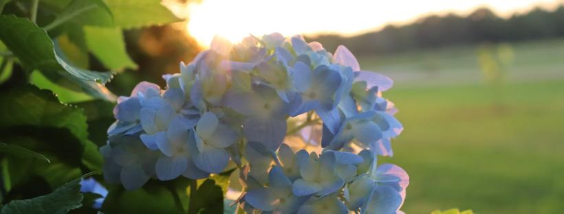 there is hope hydrangeas